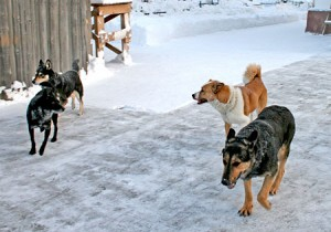 Охота на собак